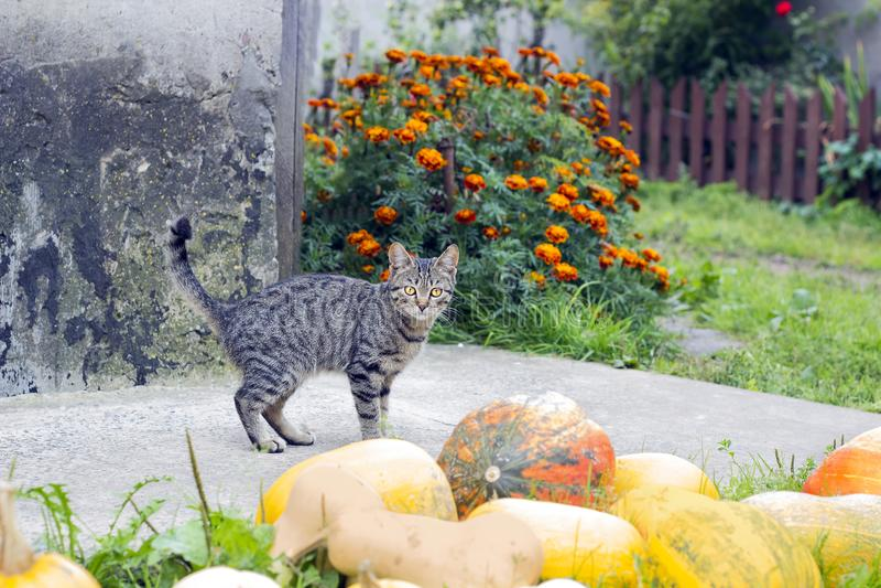 Tabby cat near pumpkins stock photo