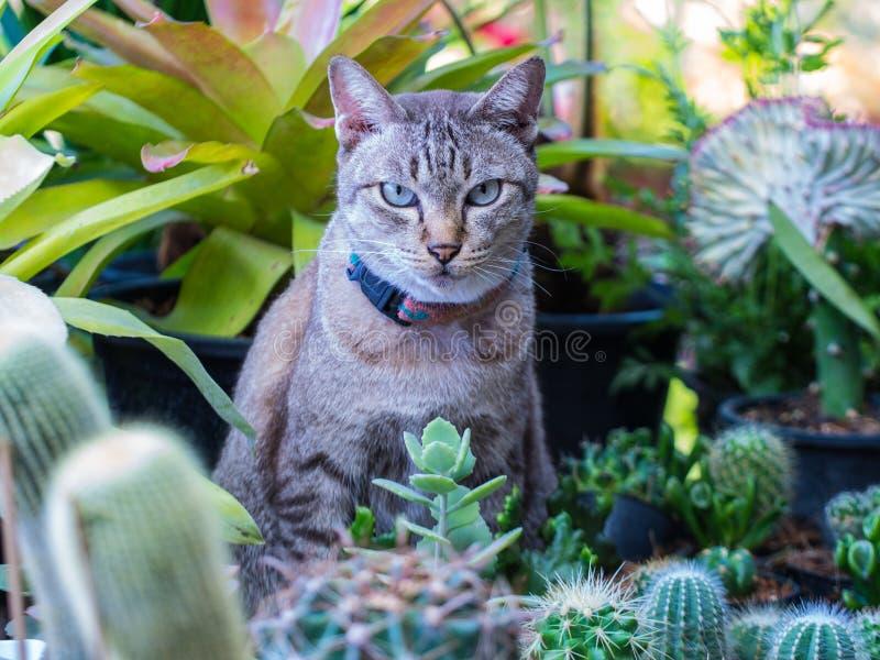 Tabby Cat nel giardino del cactus fotografia stock libera da diritti