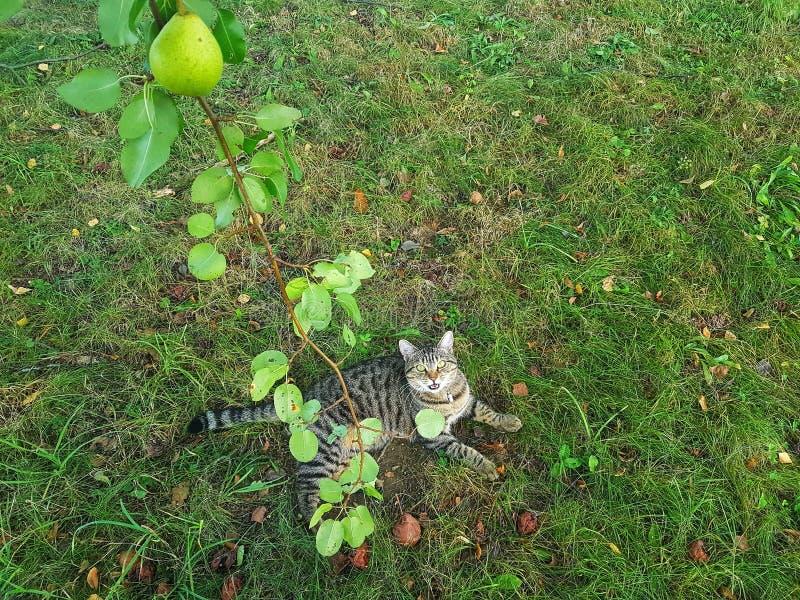 Tabby Cat och päronet royaltyfri fotografi