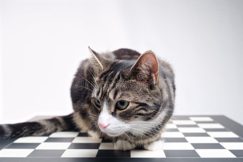 Tabby Cat op Schaakraad stock afbeelding