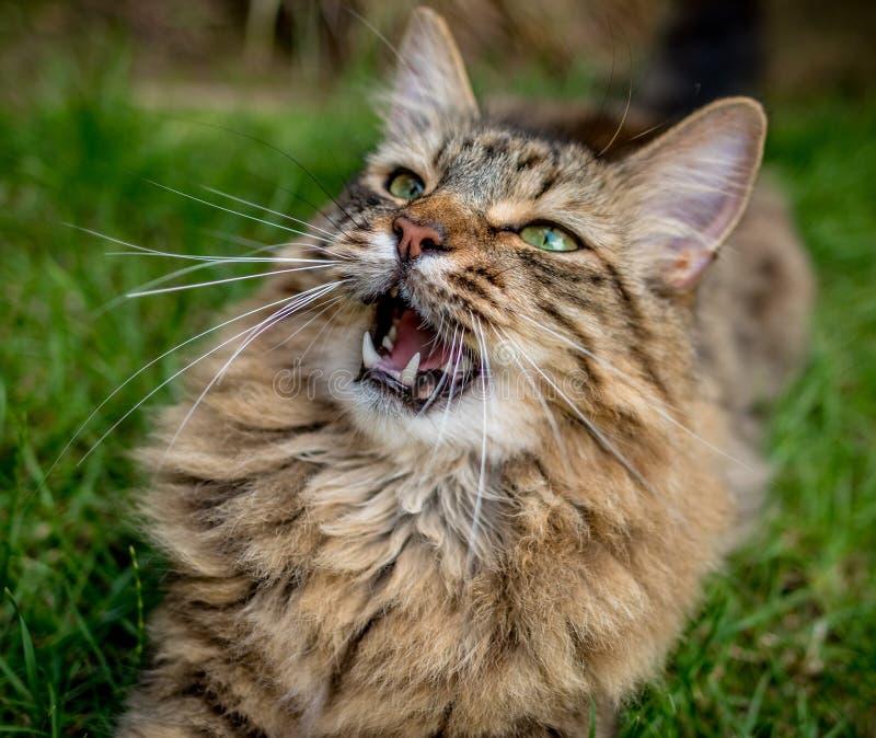 Tabby Cat Outdoors Portrait fotos de stock royalty free