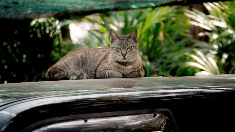 Tabby Cat på biltaket arkivbilder