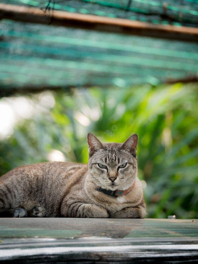 Tabby Cat på biltaket royaltyfri fotografi