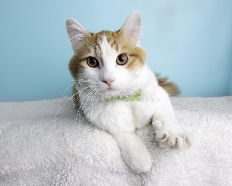 Tabby Cat Portrait anaranjada en estudio y llevar una corbata de lazo foto de archivo