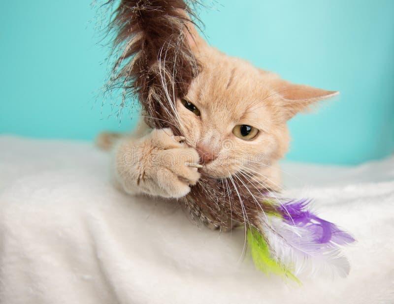 Tabby Cat Portrait bege no estúdio e em vestir um laço foto de stock