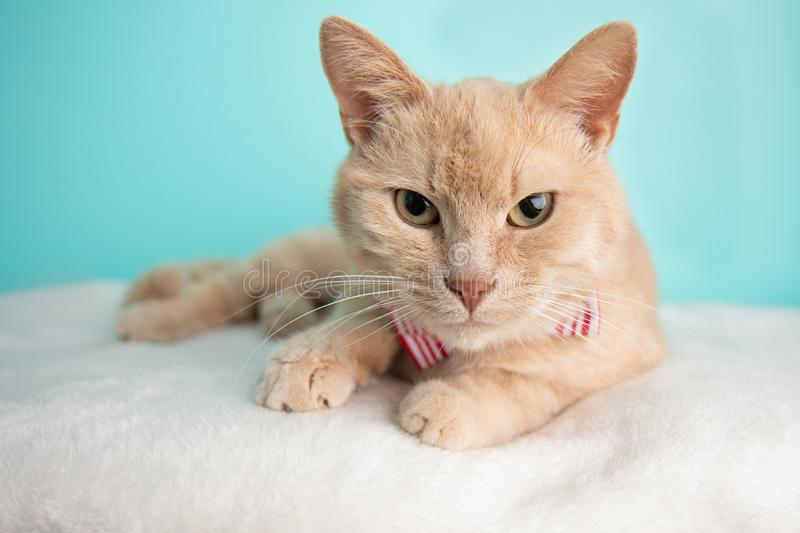 Tabby Cat Portrait beige le studio et en portant un noeud papillon photos stock