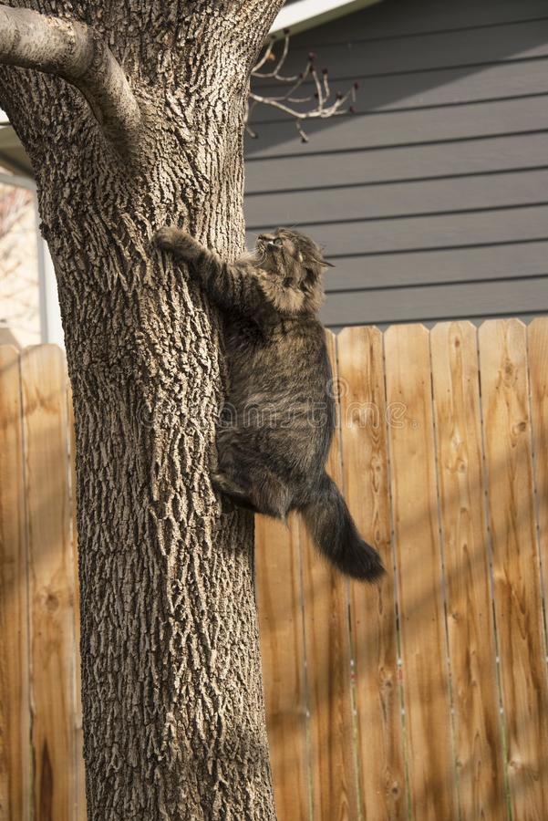 Tabby cat portrait climbing tree in backyard. With yellow eyes and long black and tan fur playing in backyard royalty free stock photos