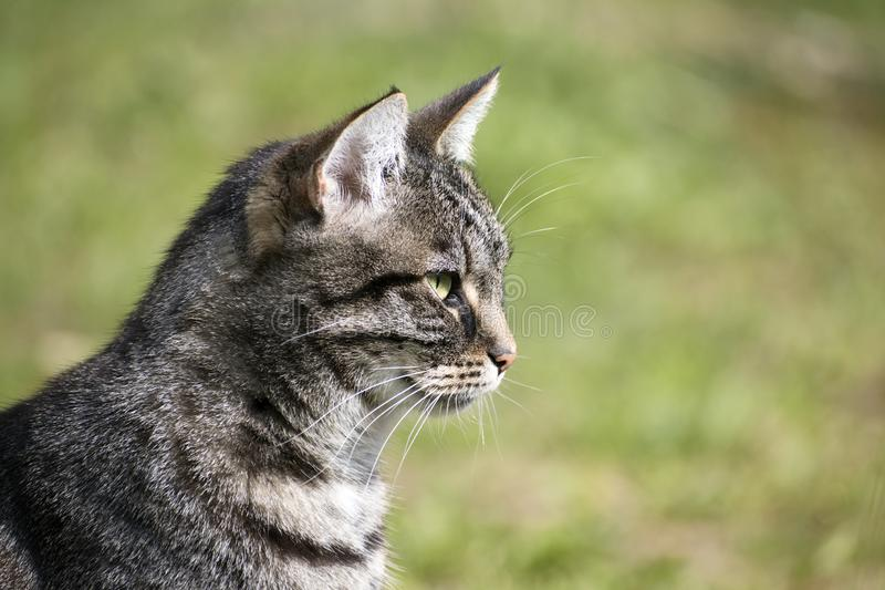 Tabby cat portrait in profile against a green background, copy s royalty free stock images