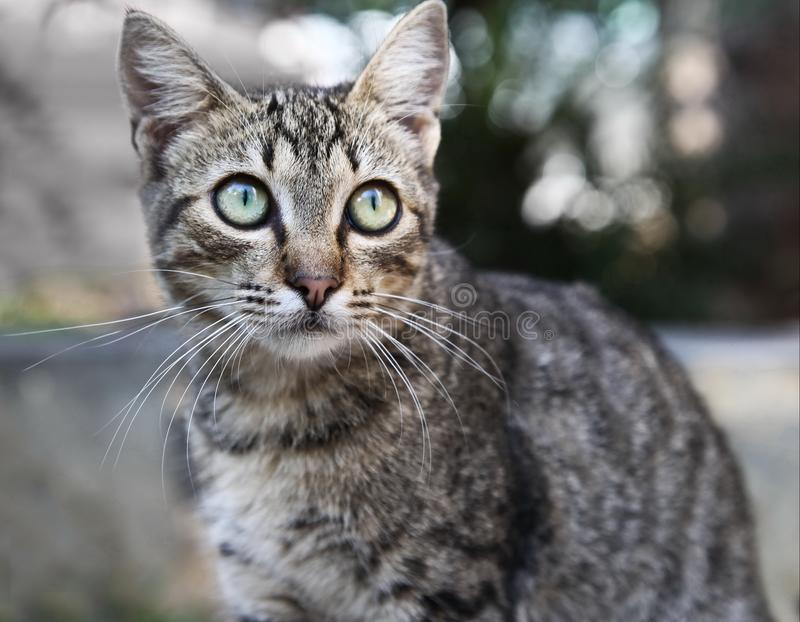 The tabby cat. Portrait of a tabby cat with very sad eyes royalty free stock image