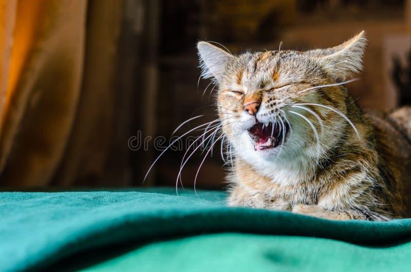 Tabby Cat Portret image libre de droits