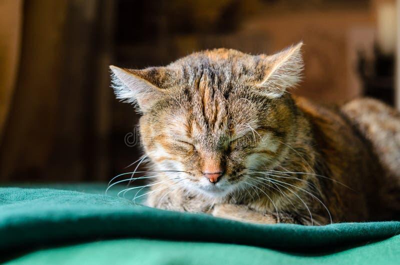 Tabby Cat Portret addormentata fotografie stock libere da diritti