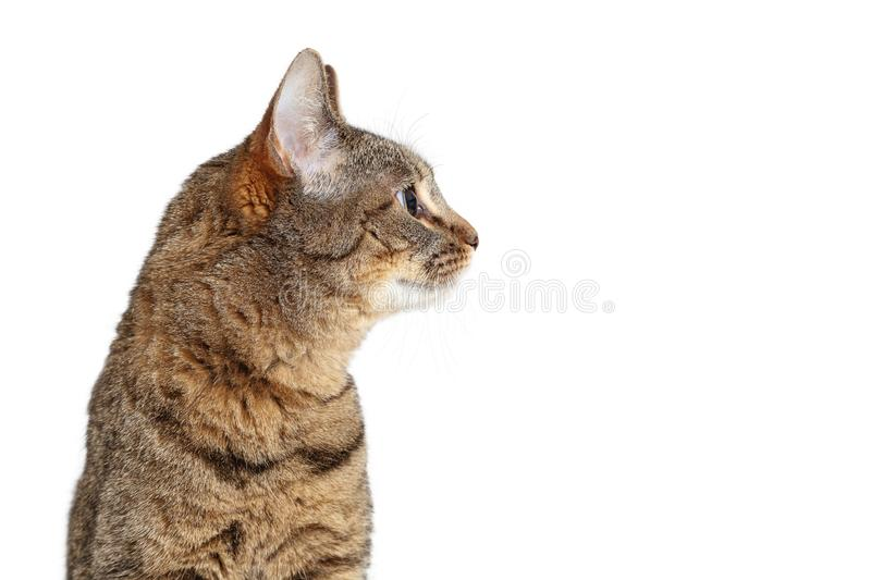 Tabby Cat Profile Looking Side Isolated stock photography