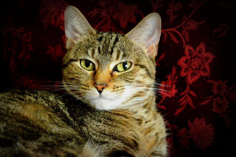 Tabby Cat. With a red flowered pillow behind her stock images