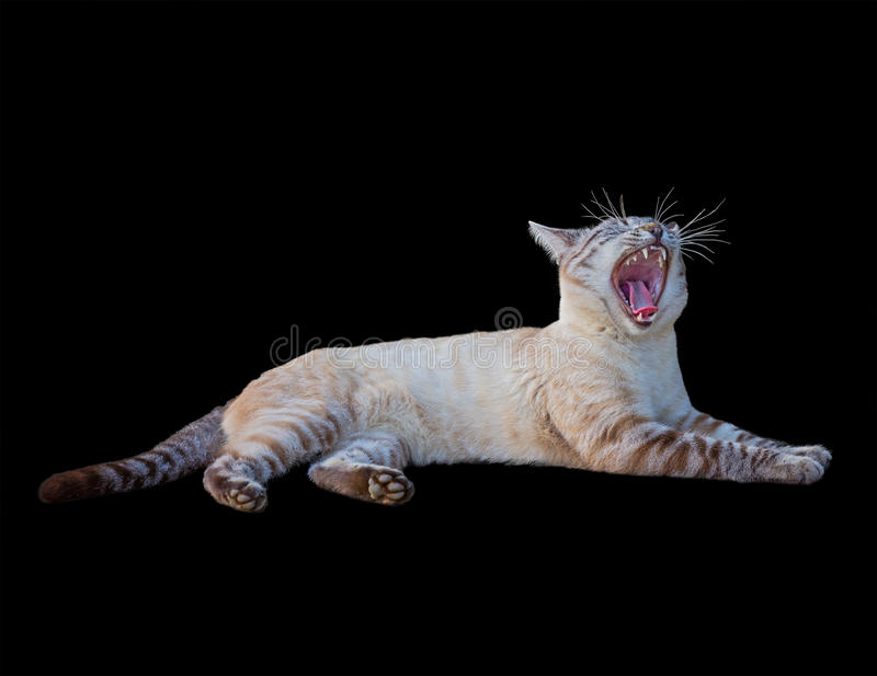 Tabby cat roar. Ing lies on black background stock images