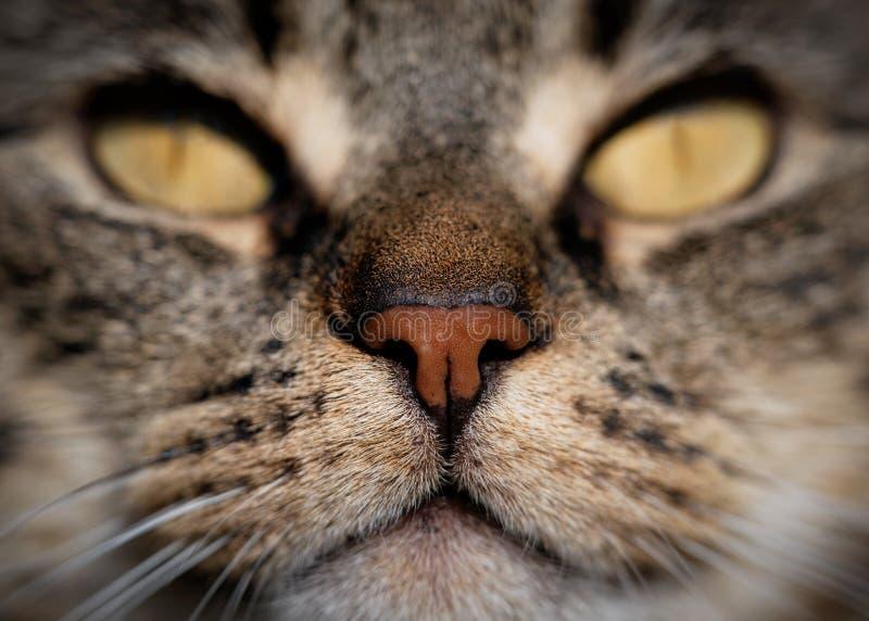Tabby Cat & x27; s-nos royaltyfri bild