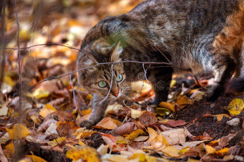 Download Tabby Cat's Portrait In Autumn Stock Photo - Image: 21666618