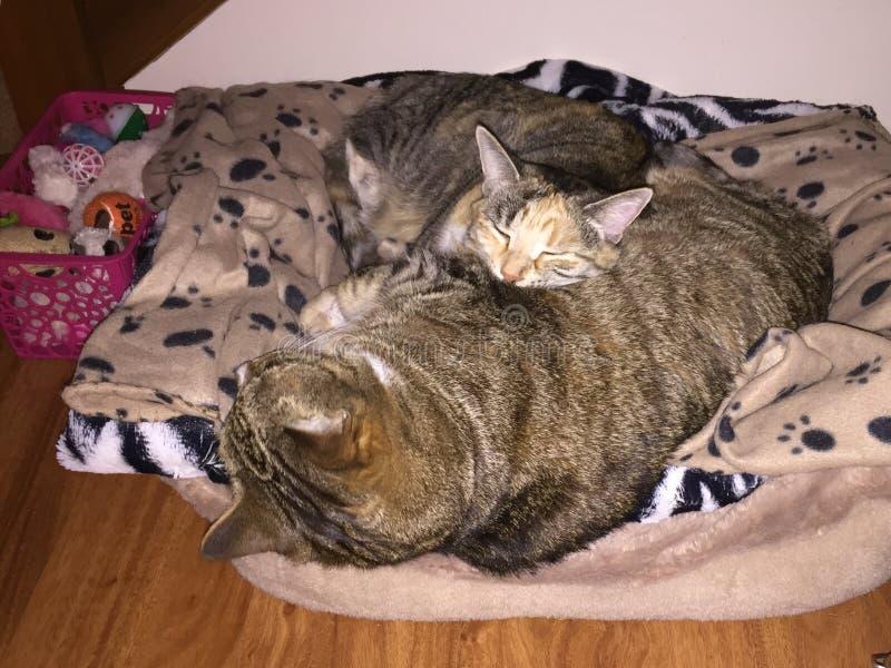 Tabby Cat-Schwester und -bruder stockbild
