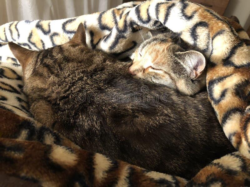Tabby Cat-Schwester und -bruder stockfotografie