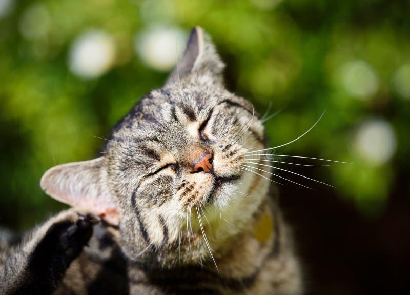 Tabby Cat Scratching stockfoto