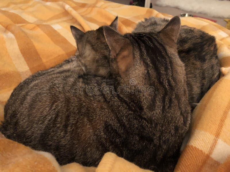 Tabby Cat Siblings knuffelt royalty-vrije stock fotografie