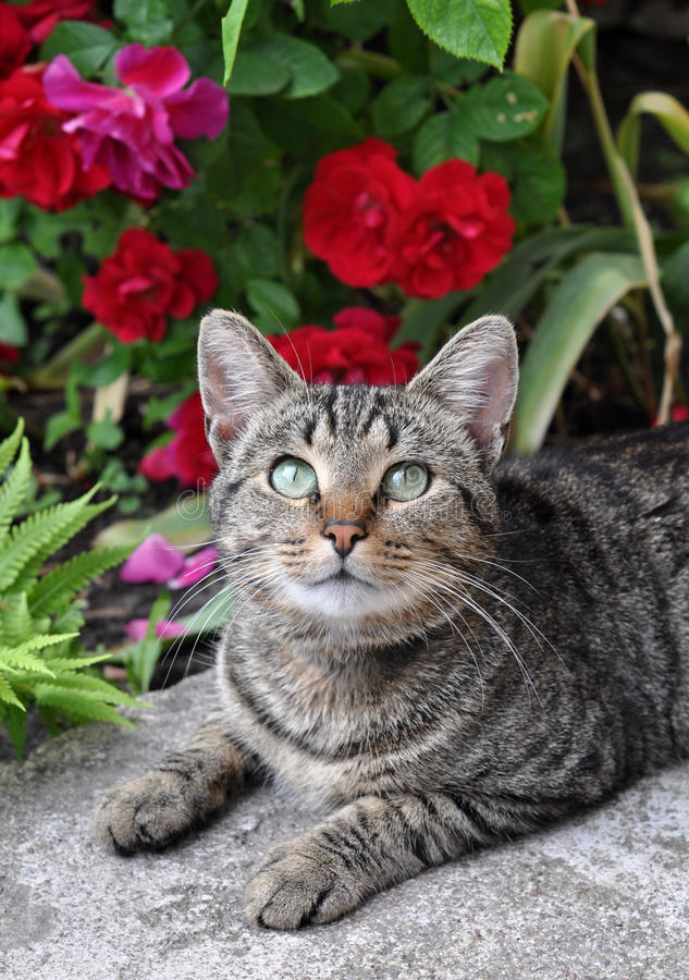 Tabby cat sitting near a flowering red roses stock photography