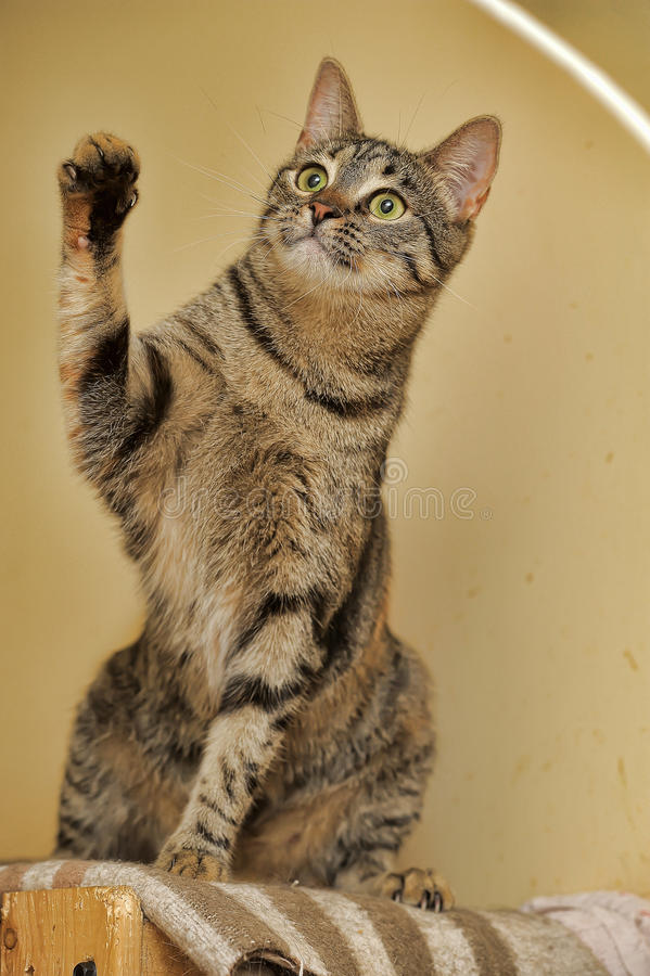 Tabby cat sitting. Raising paw royalty free stock photo