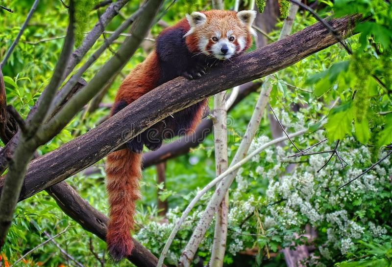 Cute, red panda relaxing on a tree and looking to the camera. stock image