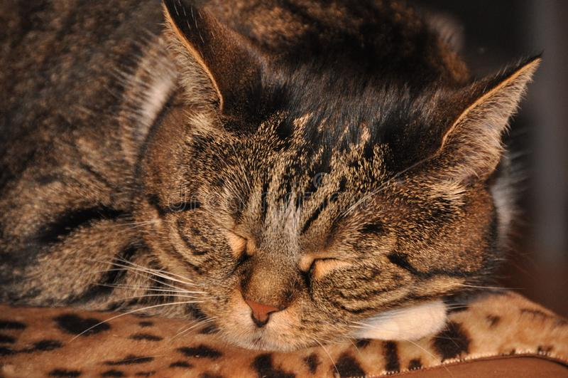 Tabby cat sleeping stock photography