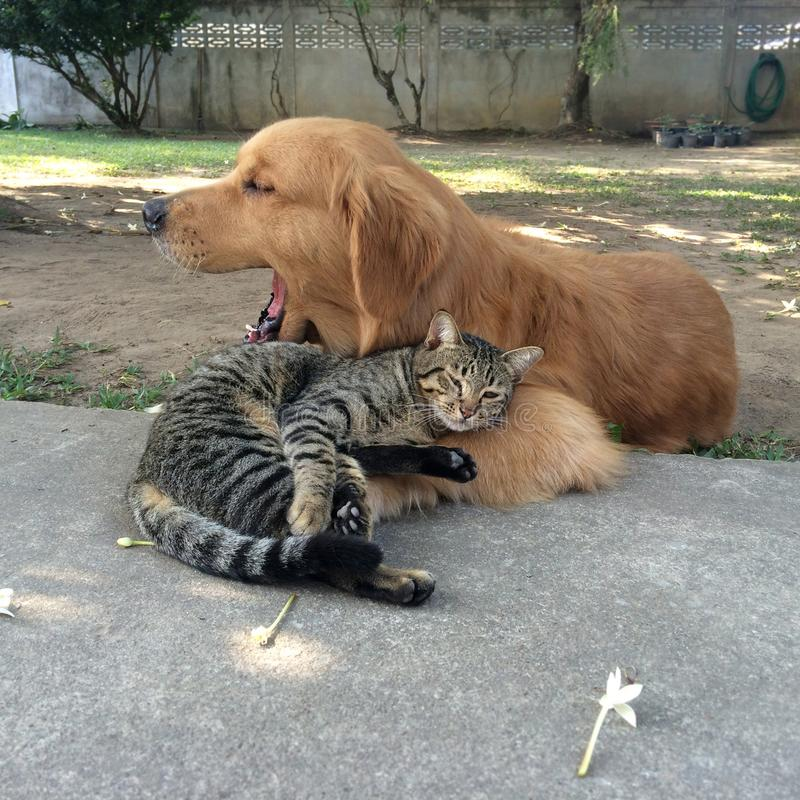 Tabby cat sleeping with Golden Retriever dog. They are friendship stock photo