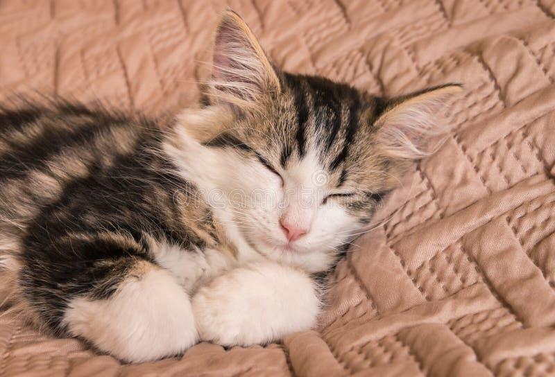 Tabby cat sleeping on pale brown duvet. Closeup of tabby cat sleeping on pale brown duvet stock photos