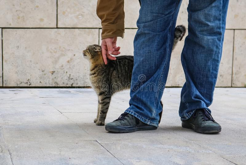 Tabby cat stretching up with arched back as it is petted by person in blue jeans and jacket - only legs and feet of person visable. A Tabby cat stretching up stock photos