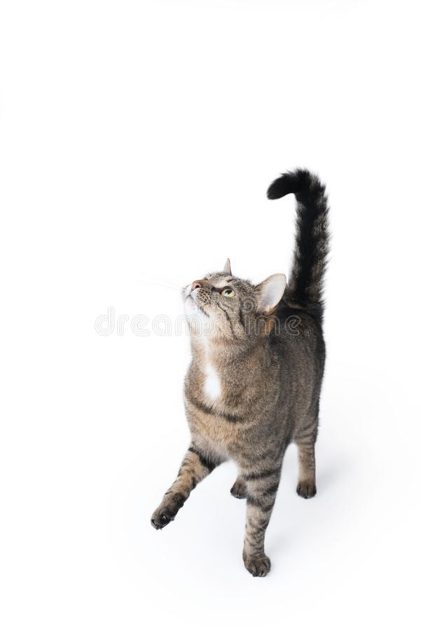 Tabby cat studio shot begging for treats looking up. Tabby cat begging for treats on white background looking up waiting to get fed royalty free stock photography