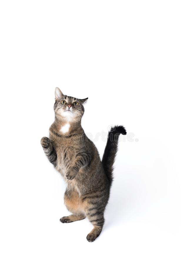 Tabby cat studio shot. Tabby cat begging for treats standing on white background royalty free stock photos