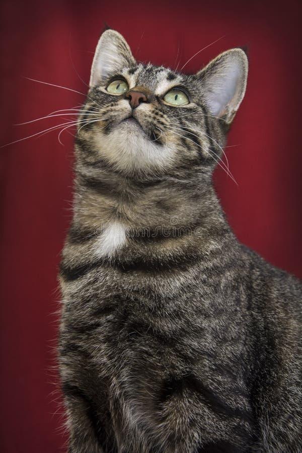 Tabby Cat su fondo rosso fotografia stock libera da diritti