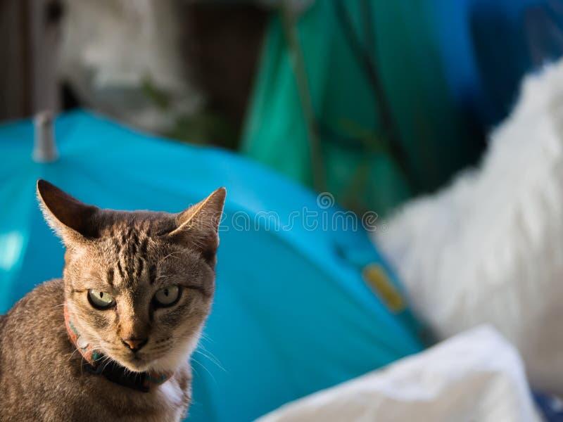 Tabby Cat sul fondo della sfuocatura immagini stock