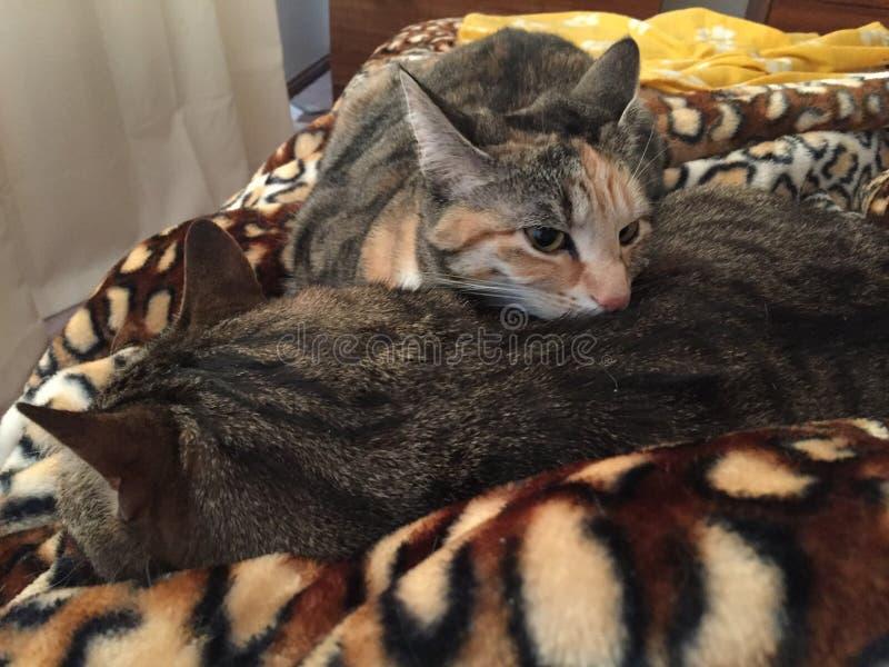 Tabby Cat syskongrupp royaltyfria foton