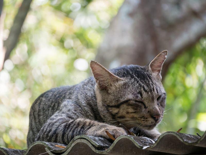 Tabby Cat Take een Dutje op het Dak stock afbeeldingen