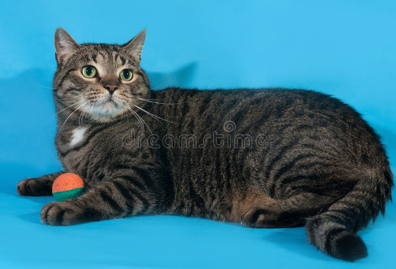 Tabby cat with toy ball lies on blue background royalty free stock photos