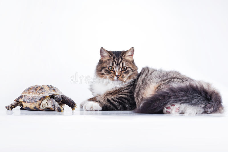 Tabby cat with a turtle on a white background royalty free stock photos