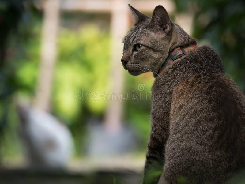 Tabby Cat Waiting für das Jagen einer anderen Katze im Garten lizenzfreie stockfotos