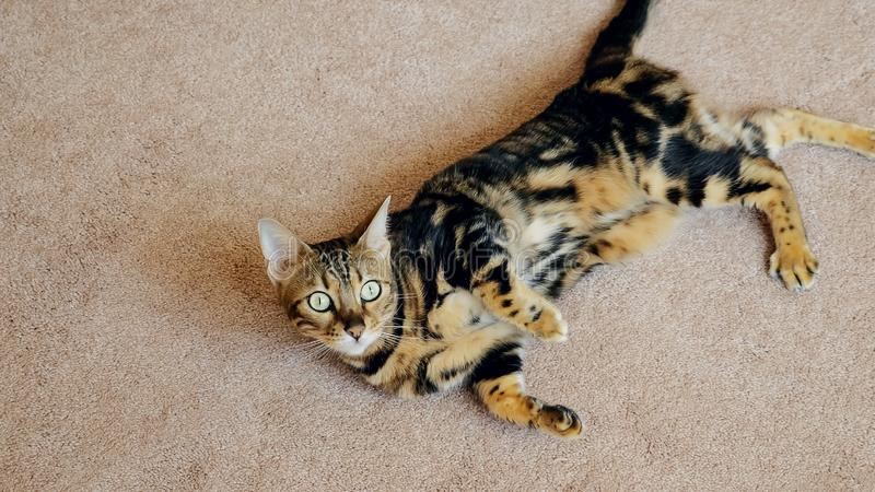 Tabby cat on the white carpet in the interior stock photography