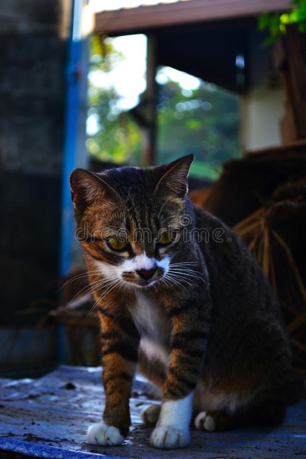 Tabby cat in wildlife. Cunning and beautiful cat goes for a walk. Cat`s eyes in focus. Striped kitten with a white mask on the face royalty free stock photography