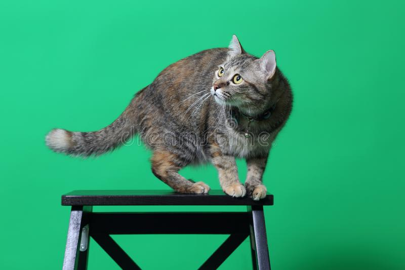 Tabby Cat. The young tabby cat on the green screen stock photos