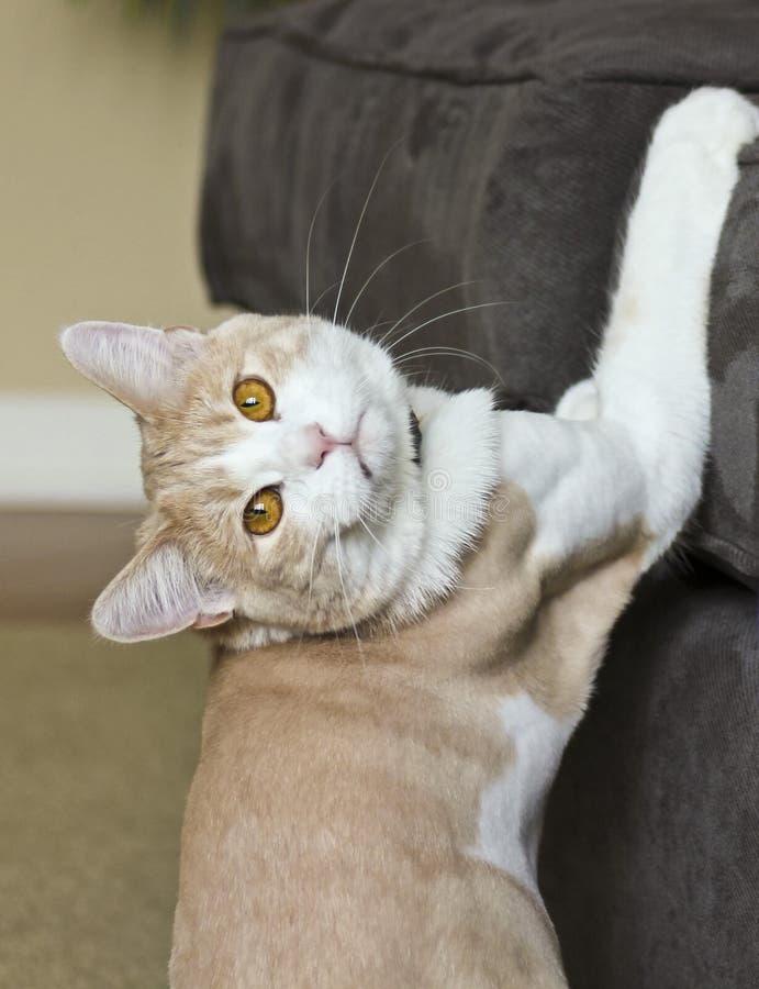 Tabby Cream Cat Caught en el acto imagen de archivo
