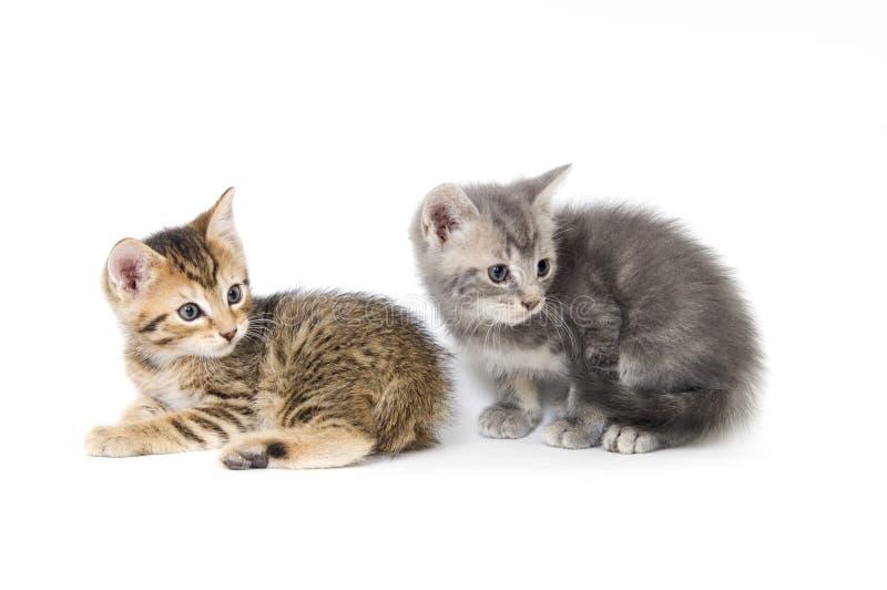 Tabby e gatinho cinzento fotografia de stock royalty free