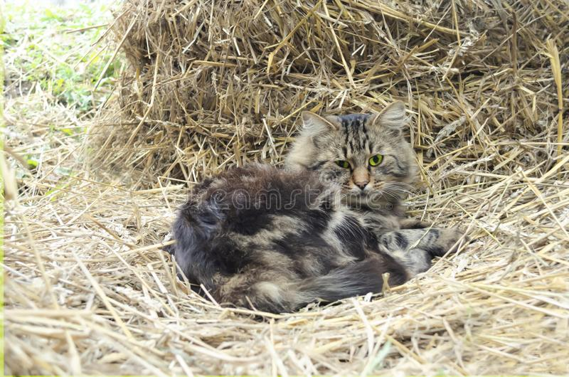 The tabby fluffy cat with yellow eyes lies on a haystack in the warmth. Background for an inscription royalty free stock photos