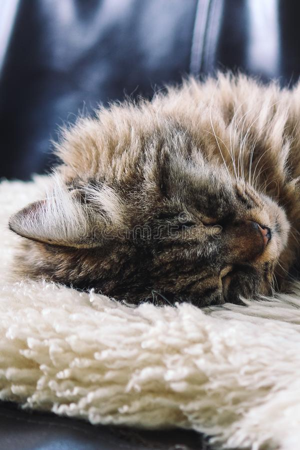Tabby grey cat sleeping. Beautiful cat lying, taking a nap on white fluffy blanket. Cuteness, innocence concept. Tired animal. royalty free stock image