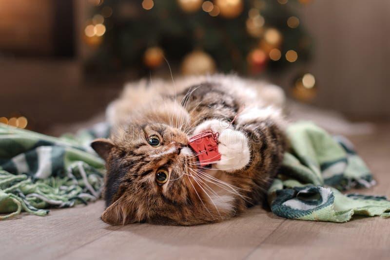 Tabby i szczęśliwy kot Boże Narodzenia przyprawiają 2017, nowego rok, wakacje i świętowanie, zdjęcie stock