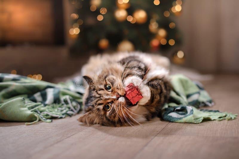 Tabby i szczęśliwy kot Boże Narodzenia przyprawiają 2017, nowego rok, wakacje i świętowanie, zdjęcia royalty free
