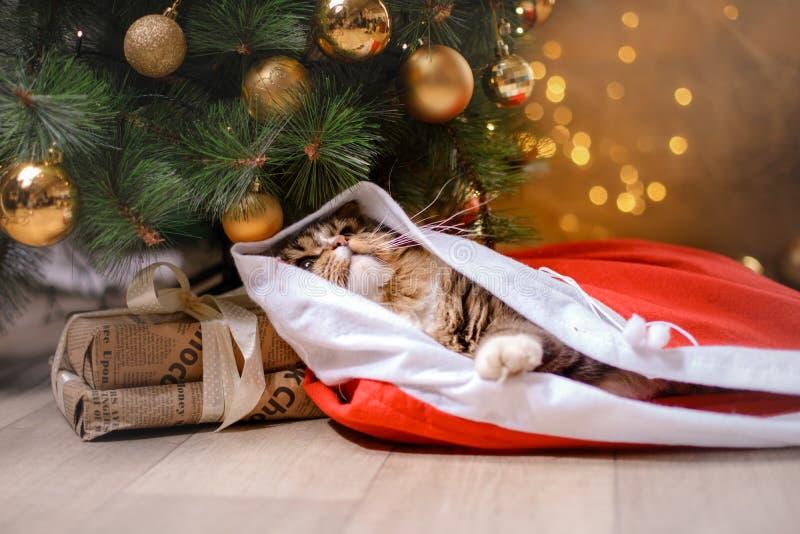Tabby i szczęśliwy kot Boże Narodzenie sezon 2017, nowy rok zdjęcie stock